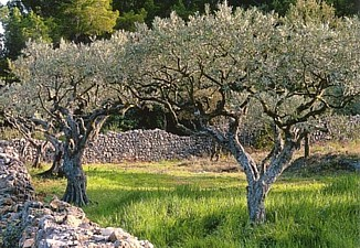 Olive tree in Luberon